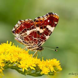 Map-butterfly
