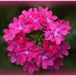 Rose bloem