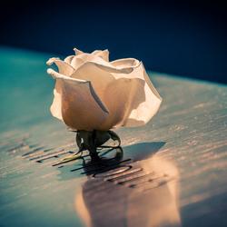 Roos der herinnering