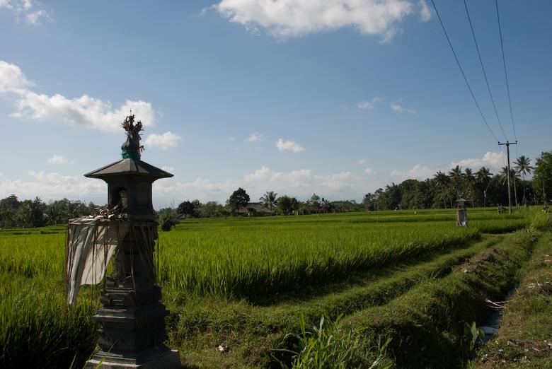 Rice Field -