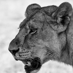 Lioness in the Serengeti - september 2016