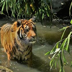 Badderende tijger