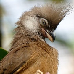 Bruine Muisvogel