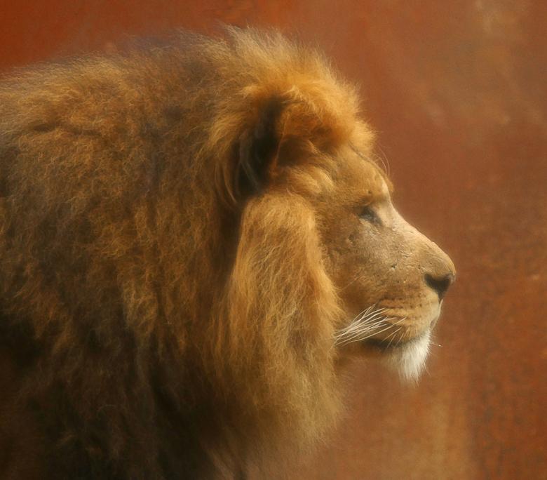 leeuw - De leeuwen lieten zich vanmorgen nauwelijks zien. Pa kwam heel even tevoorschijn en ging toen snel weer naar binnen. Ik had maar één moment om