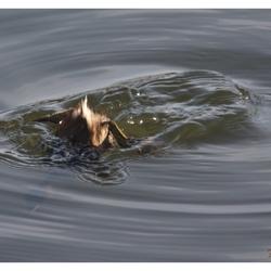 Duikende dodaars
