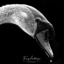 Zwaan zwart-wit