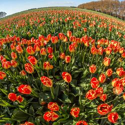 De laatste tulpen