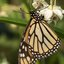 Monargvlinder