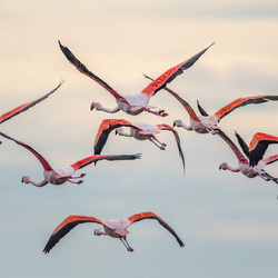 Flamingo's in vlucht