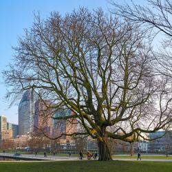 Kastanje in het centrum van Den Haag
