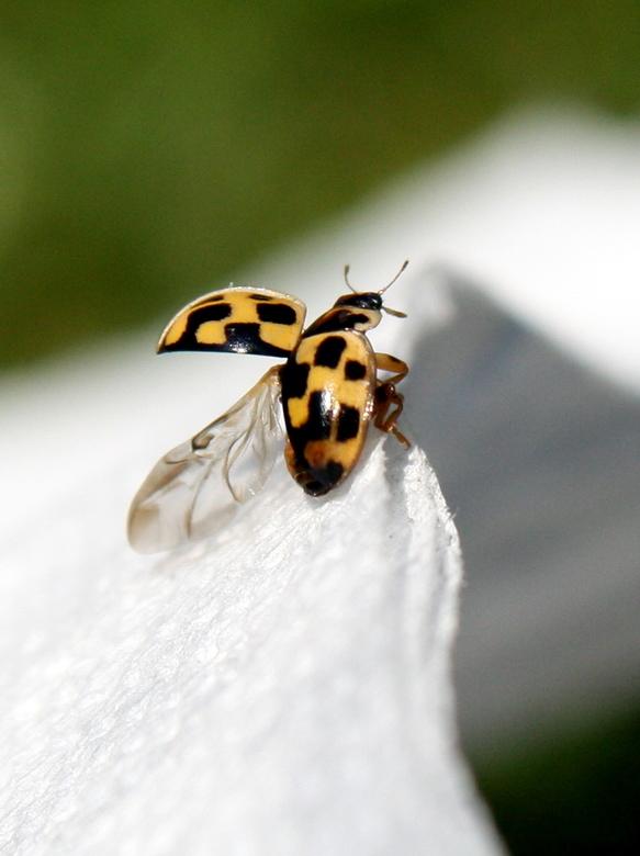 lieveheersbeestje - Ik lag lekker in de tuin te zonnen toen ik dit bijzondere lieveheersbeestje zag, natuurlijk ben ik snel het huis in gerend om mijn