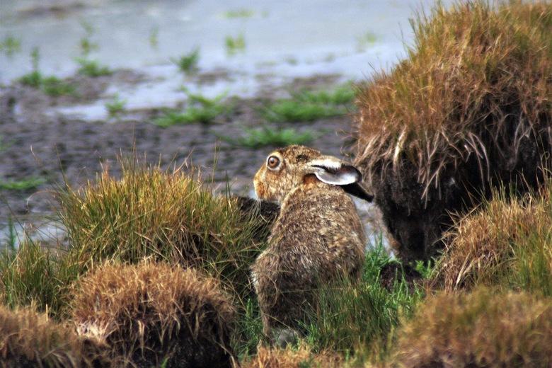 haas - deze haas trof ik aan in het natuurgebied Yerseke Moer.