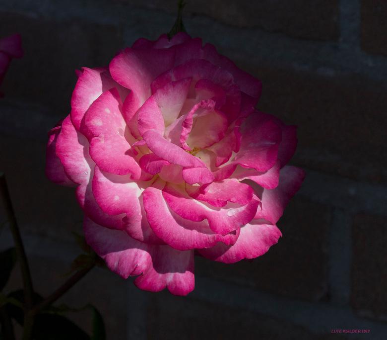 Rose roos  - Rose-Witte Roos.