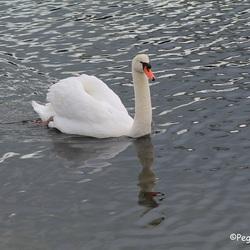 Zwaan in rustig water