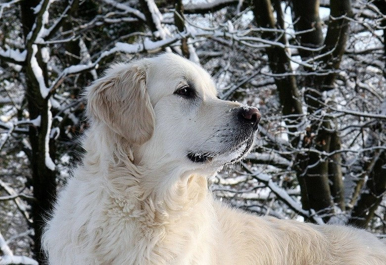 My name is....Jagger - Golden in de sneeuw