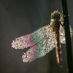 Kleurrijke libelle
