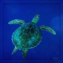 Het leven in de rode zee : Hawksbill sea turtle