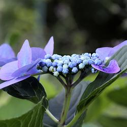 Lacecap Hortensia