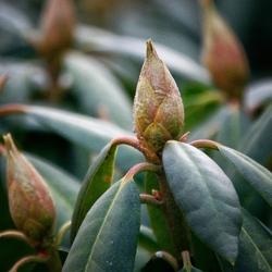 Rhododendron in de knop
