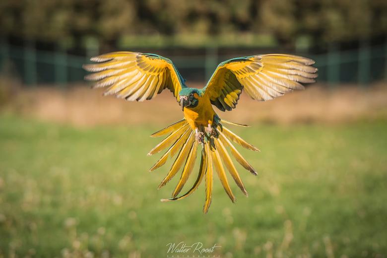 Freeflight blauwkeel ara -