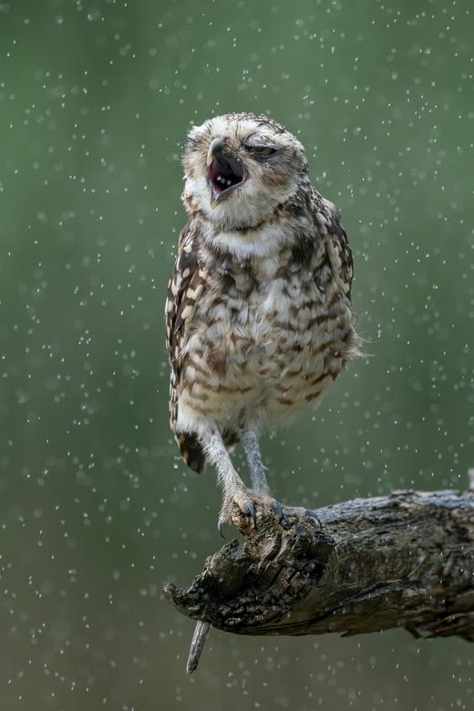 Lekker, regen. - Dit holenuiltje is blij met de verkoeling door de regen en probeert een paar druppels op te vangen om te drinken.<br /> <br /> Beda