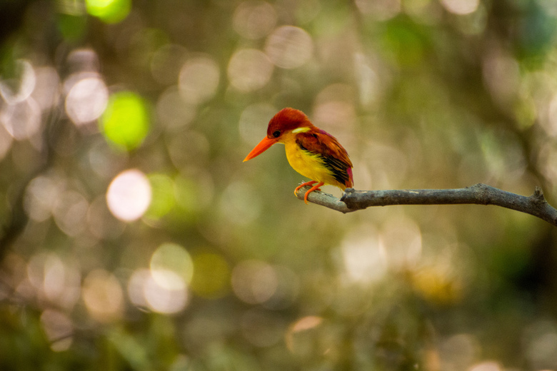 rufous-backed kingfisher - IJsvogel in Bali Barat National Park