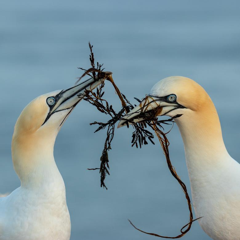 Helgoland - Het vrouwtje neemt het nest materiaal aan wat manlief heeft gebracht.