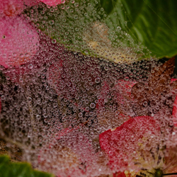 Webdruppels op Hortenzia