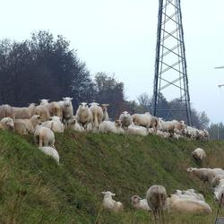 De schaapjes op het....