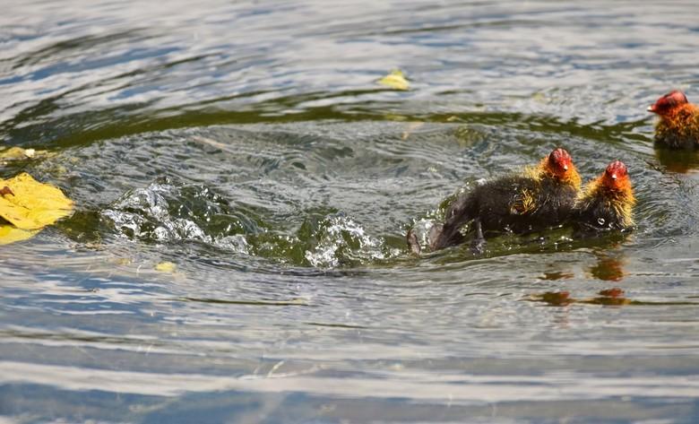 """Asjemenou - De meerkoet nam net een duik <img  src=""""/images/smileys/smile.png""""/>"""
