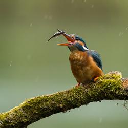 IJsvogel moet ook eten als het regent