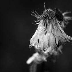 Verdroogde bloem in zwart wit