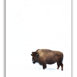 Just a bison..