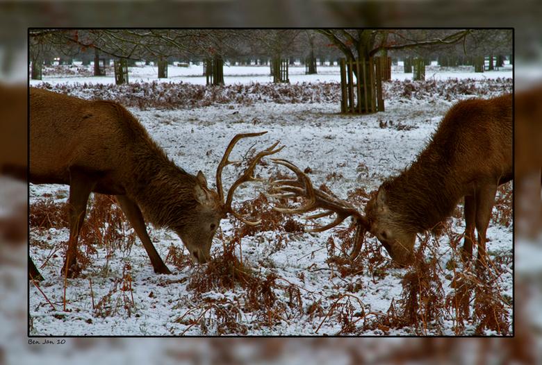 Vechters in de sneeuw - In het Londense Bushy Park, het op 1 na grootste van Londen, lopen een aantal indrukwekkende herten, ooit geintroduceerd door