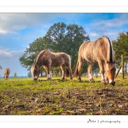Konik paarden