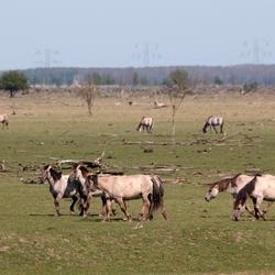 Paarden in de Oostvaardersplassen