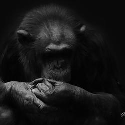 Concentratie Chimpansee zwart/wit