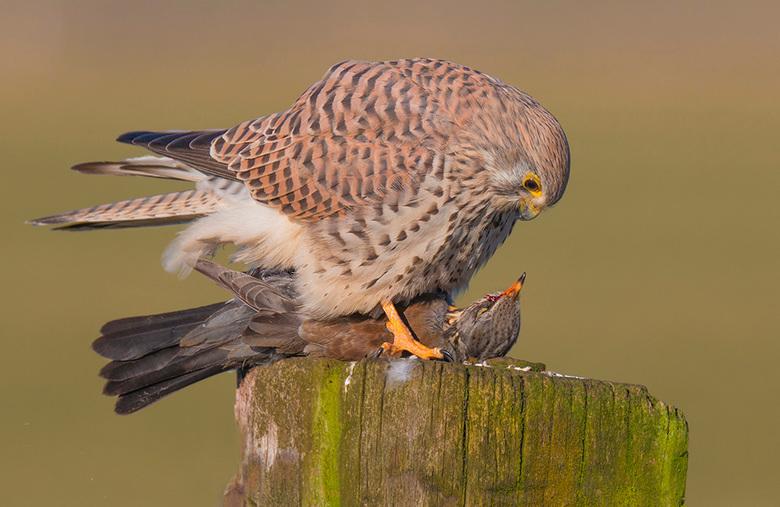 Face to face! - Vanaf een paaltje dook deze torenvalk in een sloot en kwam met een kramsvogel terug op de paal. Een bijzondere vangst want doorgaans e