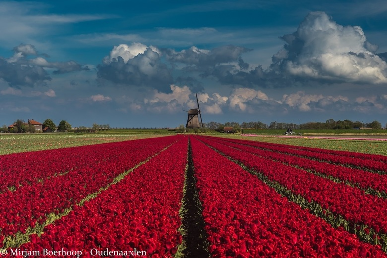 Tulpenpracht bij Schermerhorn -