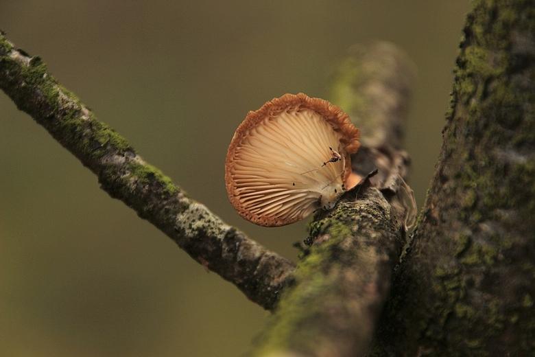Oortje - paddenstoeltje op een takje.