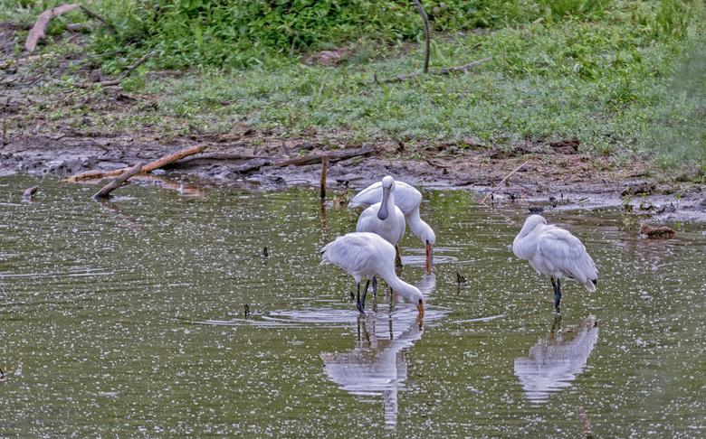 Lepelaar - In de Blauwe Kamer - natuurgebied tussen de Rijn en de Grebbeberg- heeft een grote kolonie Lepelaars zich genesteld. Vaak zijn ze te ver we