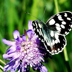 Vlinder, Dambordje
