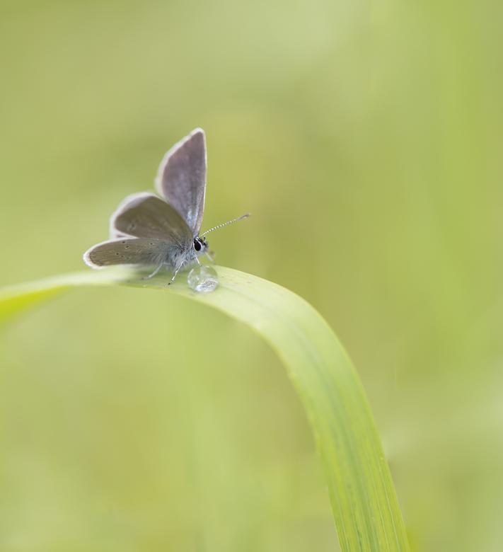Klein duimpje... - Een van de kleinste vlindersoorten is ongetwijfeld het dwergblauwtje. Nauwelijks zo groot als een vingernagel. In zuid Limburg nog