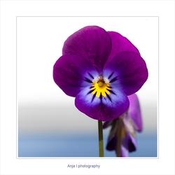 Mini viooltje
