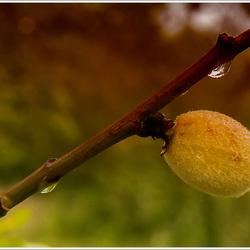 Jonge vrucht