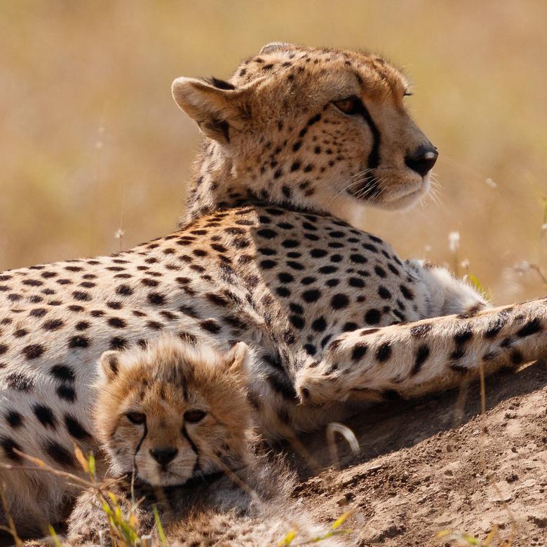 Cheeta met jong in Serengeti - Wat een prachtig moment hadden we met deze cheeta met (slechts) 1 jong. <br /> Dit meemaken in de natuur maakt het toc