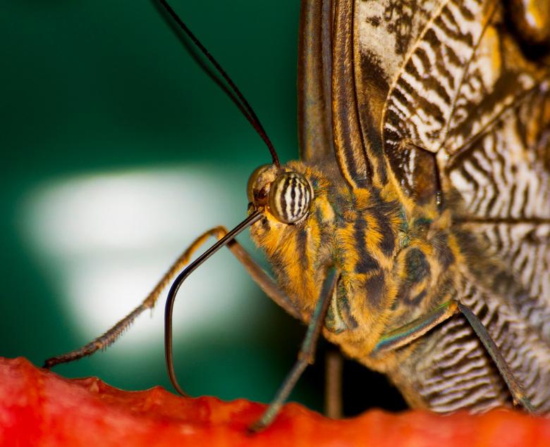 Close up vlinder - Vandaag even in Emmen geweest.<br /> Daar onderanderen geprobeerd een close up te maken van een vlinder die aan het eten is.Heb he