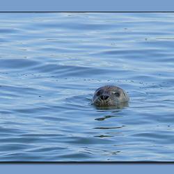 Nieuwsgierige zeehond