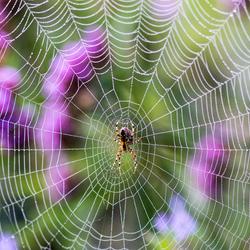 Borus the spider