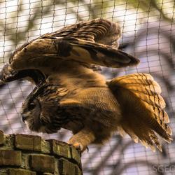 Uil spreid vleugels